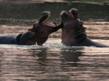 Ruaha_National_Park_hippos-fighting.jpg
